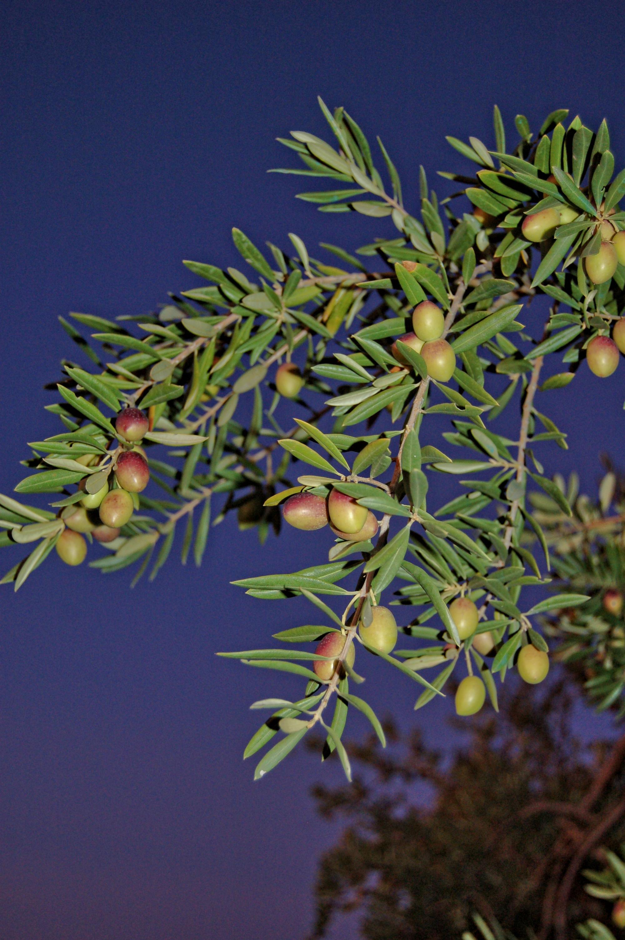 Olive groves, Iznajar, La Celada, Andalucia